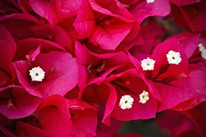 Bright Bouganvillea