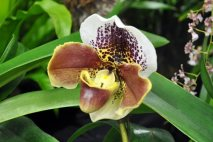 PL0002 - Lady Slipper