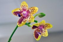 PL0004 - Yellow/Pink Orchid