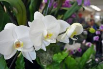 PL0006 - White Orchids