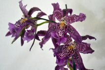PL0009 - Purple Orchid