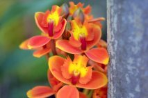 PL0011 - Orange Orchid