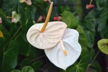 PL0014 - White Anthurium