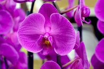 PL0020 - Purple Phal