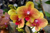 PL0021 - Yellow Orchid